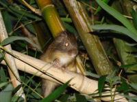 Rato da Taquara - São Lourenço Fácil