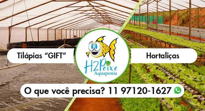 """H2 Peixe Aquaponia - Tilápias """"GIFT"""" e Hortaliças 100% naturais"""