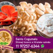 Santo Cogumelo - Produtor de Shimeji branco e Hiratake salmão