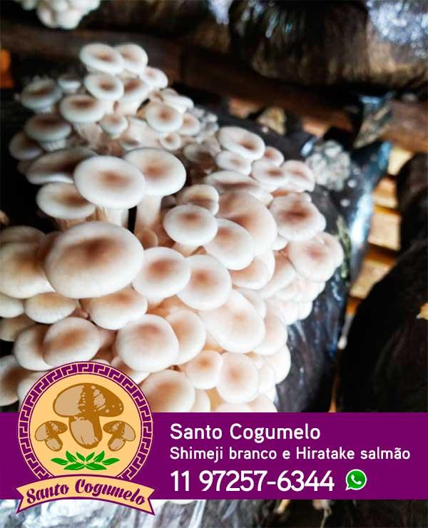 Santo Cogumelo - Produtor de Shimeji branco