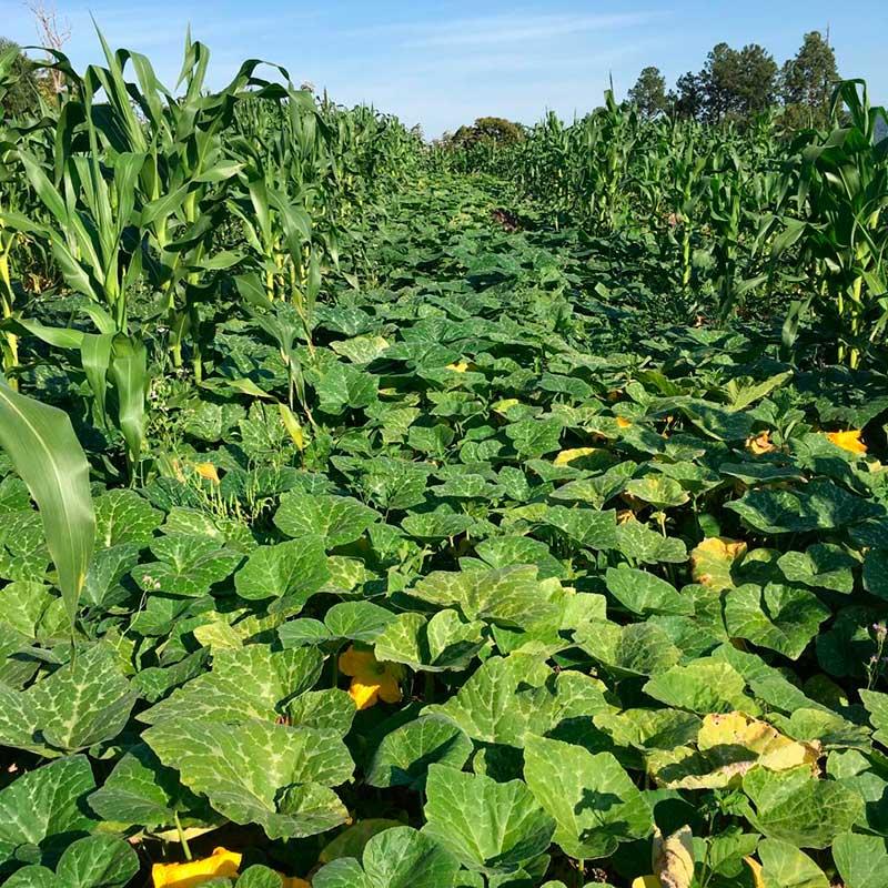 Sítio Nó de Pinho - Cultivo de milho e abóbora